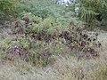 Starr-010206-0255-Leucaena leucocephala-habit-Kanaha Beach-Maui (23902937994).jpg