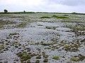 Starr-010520-0016-Fimbristylis cymosa-habit on runway-Abandoned runway-Kure Atoll (24164937969).jpg