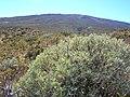 Starr-041211-1428-Geranium cuneatum subsp tridens-habit-Puu Nianiau-Maui (24353511169).jpg