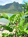Starr-050419-0330-Schinus terebinthifolius-habit-Mokolii-Oahu (24628106472).jpg