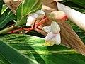 Starr-061109-1509-Alpinia zerumbet-flowers-Kokomo Rd Haiku-Maui (24573352150).jpg