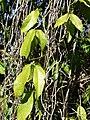 Starr-071024-9822-Strongylodon macrobotrys-leaves-Enchanting Floral Gardens of Kula-Maui (24801863001).jpg