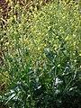 Starr-090426-6313-Brassica nigra-flowering habit-Aapuea Pkwy Kulamalu Kula-Maui (24834502112).jpg