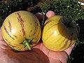 Starr-091023-8514-Solanum muricatum-fruit in hand-Kula Experiment Station-Maui (24619152859).jpg