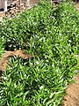 Starr-091023-8523-Solanum muricatum-fruiting habit-Kula Experiment Station-Maui (24986797065).jpg