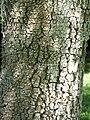 Starr-091104-0796-Albizia zygia-bark-Kahanu Gardens NTBG Kaeleku Hana-Maui (24987614485).jpg
