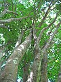 Starr-091104-9194-Melicoccus bijugatus-trunk and canopy-Kahanu Gardens NTBG Kaeleku Hana-Maui (24870791022).jpg