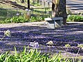 Starr-100602-6658-Jacaranda mimosifolia-flowers on ground with bench-5 Trees Pukalani Kula Intersection-Maui (24408802274).jpg