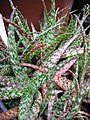 Starr-110218-1560-Aloe rauhii-habit-Ulana St Makawao-Maui (24983195401).jpg