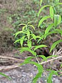 Starr-110307-2764-Aloysia citrodora-leaves-Kula Botanical Garden-Maui (24960604982).jpg