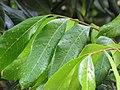 Starr-110330-3807-Dimocarpus longan-leaves with raindrops-Garden of Eden Keanae-Maui (24713096359).jpg
