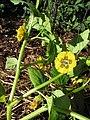 Starr-110822-8265-Physalis philadelphica-flowers and leaves-Hawea Pl Olinda-Maui (24735750139).jpg