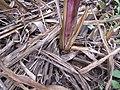 Starr-120620-7493-Cenchrus purpureus-purple bana grass rooting at nodes-Kula Agriculture Station-Maui (25145789785).jpg