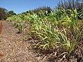 Starr-120702-7855-Cenchrus purpureus x glaucum-Hoolehua PMC hybrid Pearl Millet x banagrass-USDA Plant Materials Center-Molokai (24559297843).jpg