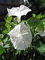 Starr-121108-0679-Ipomoea aquatica-flowers-Pali o Waipio-Maui (25169485986).jpg