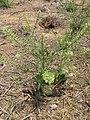 Starr-130422-4210-Lepidium virginicum-seeding habit-Kahului-Maui (24842684659).jpg