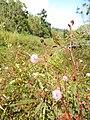 Starr-140909-1695-Mimosa pudica-flowers-Wailua-Maui (25245744005).jpg