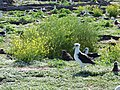 Starr-150328-0612-Brassica juncea-habit with Laysan Albatrosses-Northwest Eastern Island-Midway Atoll (25242582686).jpg