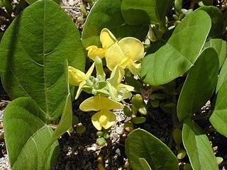 <i>Vigna marina</i> species of plant