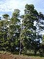 Starr 011028-0010 Lophostemon confertus.jpg