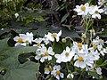 Starr 020103-0008 Montanoa hibiscifolia.jpg