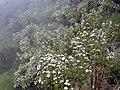 Starr 030419-0054 Ageratina adenophora.jpg