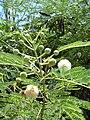 Starr 030626-0007 Leucaena leucocephala.jpg