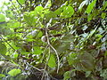 Starr 030807-0053 Dioscorea bulbifera.jpg