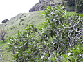 Starr 040131-0097 Myoporum sandwicense.jpg
