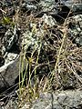 Starr 041223-2053 Cyperus cyperinus.jpg