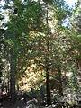 Starr 050831-7708 Sequoia sempervirens.jpg