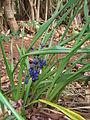 Starr 060826-8658 Dianella sandwicensis.jpg