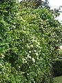 Starr 061105-1402 Murraya paniculata.jpg