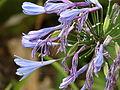 Starr 070308-5365 Agapanthus praecox subsp. orientalis.jpg