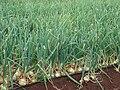 Starr 070313-5656 Allium cepa.jpg