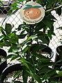 Starr 080117-1620 Citrus reticulata.jpg