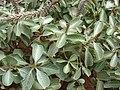 Starr 080209-2680 Achyranthes splendens var. splendens.jpg