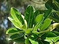 Starr 080604-6249 Calophyllum inophyllum.jpg