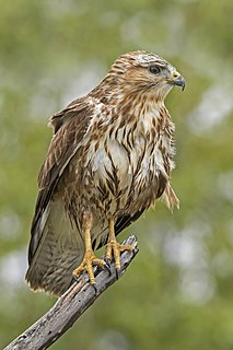 Common buzzard Species of bird of prey