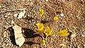 Sternbergia Mount Meron 02.jpg