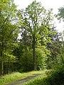 Stieleiche Landersdorf PL105.JPG