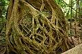 Strangler fig boulder katandra.jpg