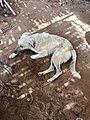 Stray Cafe Dog, Abu Simbel, AG, EGY (48016606671).jpg