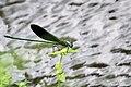 Stream Glory (Neurobasis chinensis) പീലിത്തുമ്പി. (37140155133).jpg