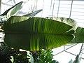 Strelitzia nicolai (14).jpg