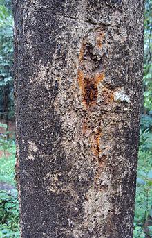 Strychnos Nux Vomica Wikipedia