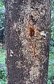 Strychnos nux-vomica bark.jpg