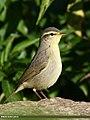 Sulphur-bellied Warbler (Phylloscopus griseolus) (36835631964).jpg