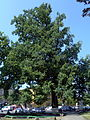 Svaliava Zakarpatska-oak ordinary.jpg