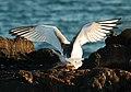 Swallow-tailed gulls (4228334577).jpg
